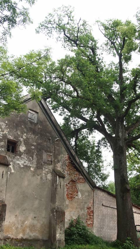 Ūkinio pastato šonas šalia ąžuolo
