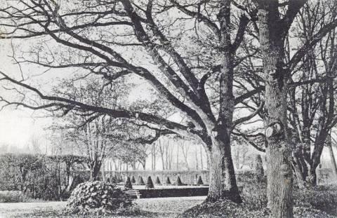 Kretingos dvaro parko ąžuolai