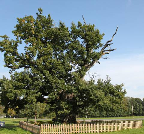 The Mingėla Oak Tree